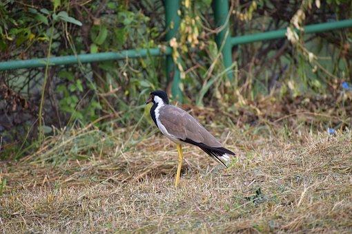 Red-wattled Lapwing, Wader Bird, Vanellus Indicus