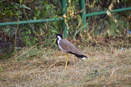 Red-wattled Lapwing, Wader Bird, Vanellus Indicus