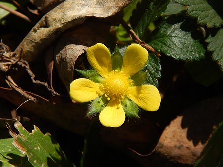 Yellow Flower, Strawberry, Wild