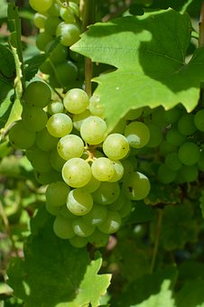 Bunch Of Grapes, Autumn, Yields