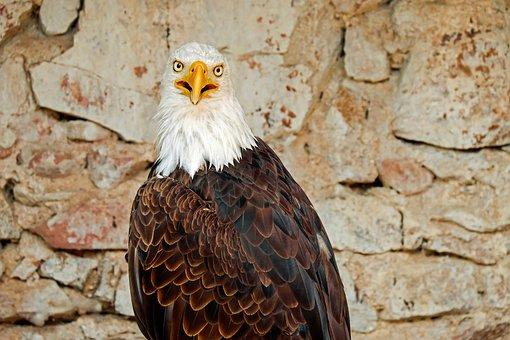 Adler, Bald Eagle, Bird, Raptor, Bird Of Prey