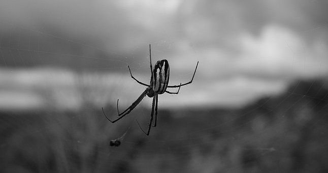 Black And White, Insect, Spider, Web, Nature, Armenia