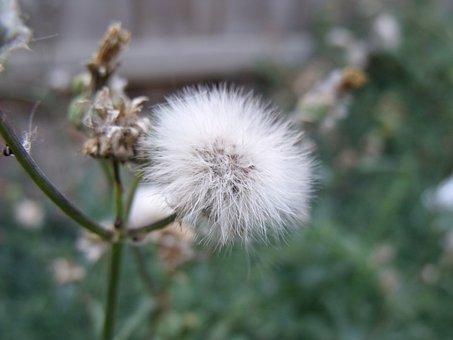 Dandelion, Grass, Weed, White, Fluff, Blowing, Field