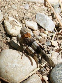 Grasshopper, Detail, Celifero, Stones, Camouflage