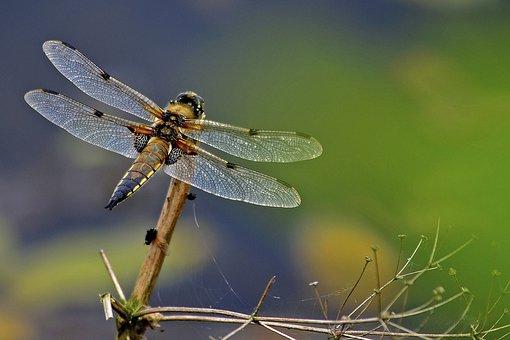Dragonfly, 4 Spot Chaser, Odonata, Insect, Wildlife