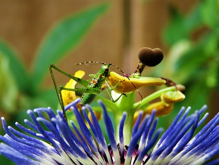 Insect, Grasshopper, Feeding, Passion Flower Bloom