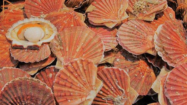 Coquilles Saint Jacques, Fish, Shell, Market, Etal
