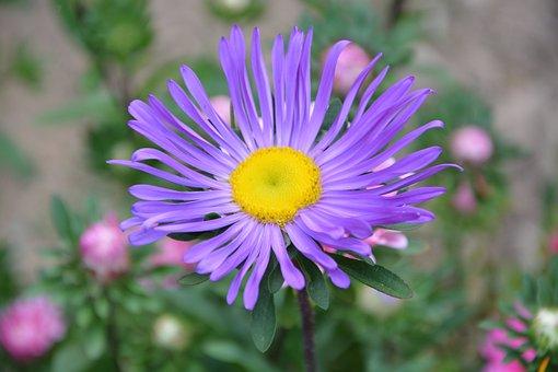 Flower, Marguerite, Purple, Petals, Garden, Nature
