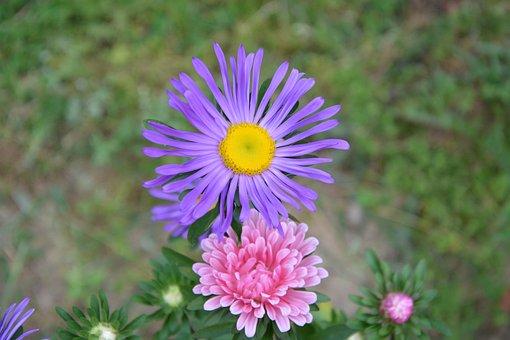 Flower, Mauve Pink, Petals, Nature, Garden