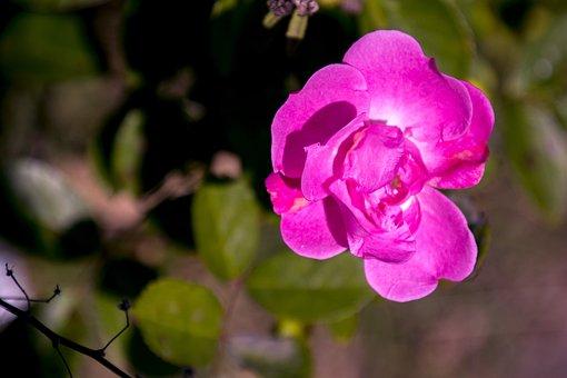 Rosa, Ornamental Flower, Garden, Flower, Flowers, Plant