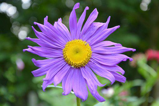 Flowers, Marguerite Purple, Nature, Green Foliage