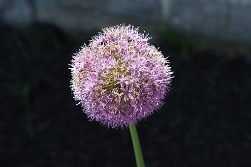 Allium, Onion Flower, Flower, Ornamental, Bloom, Garden