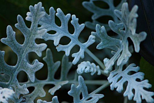 Silver Leaf, Groundsel, Jacobaea Maritima, Cinderella