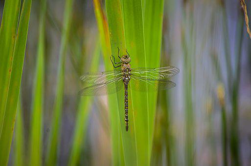 Dragonfly, Migrant, Hawker, Wildlife, Water, Odonata