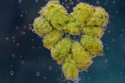 Hops, Hops Flower, Green, Heart, Heart Made Of Hops