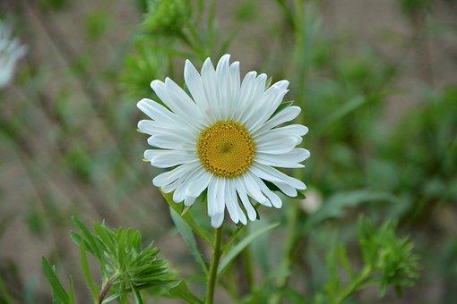 Marguerite, White, Petals, White Flowers, Flowering