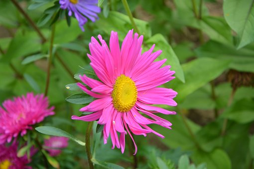 Flowers, Pink, Marguerite Rose, Color Pink, Nature