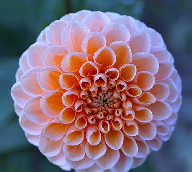 Flower, Rose, Round, Dahlia, Nature, Blossom, Bloom