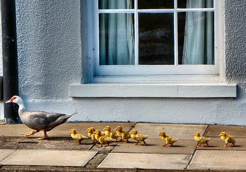 Ducks, Ducklings, Walking, Nature, Bird, Young