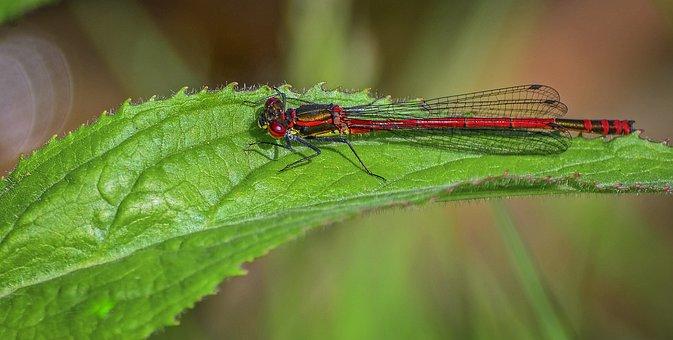 Damselfly, Large Red, Odonata, Pond, Wildlife