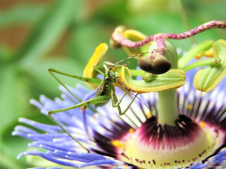 Insect, Grasshopper, Passion Flower Bloom
