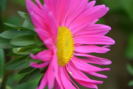 Flower, Profile Flower, Marguerite, Pink, Nature