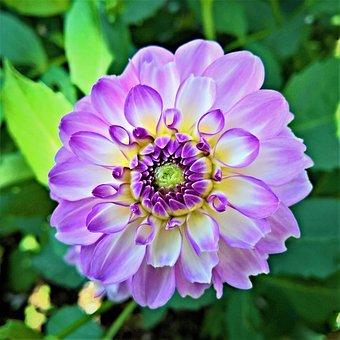 Plant, Dahlia, Flower Garden, Single Bloom