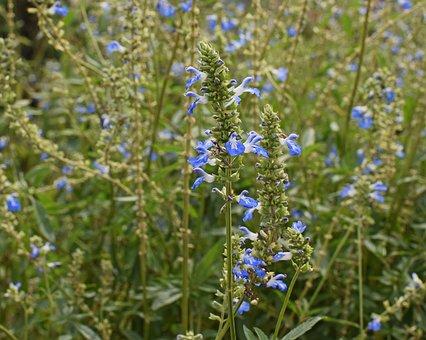 Blue Salvia Flowers, Small, Flower, Blossom, Bloom