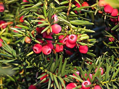 Berries, Red, Juniper, Fruit, Plant, Summer, Nature