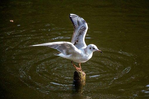 Seagull, Water, River, Bird, Sea, Animal, Wind, Swim