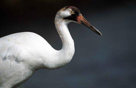 Americana, Grus, Bird, Crane, Whooping, Cranes, Birds