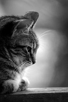 Cat, Pet, Feline, Animal, Kitten, Domestic, Kitty