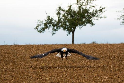 Bald Eagle, Fly, In Flight, Approach