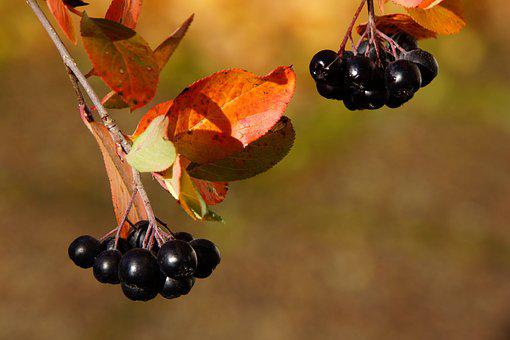 Aronia, Berry, Autumn, Aronia Berries Are, Bunch