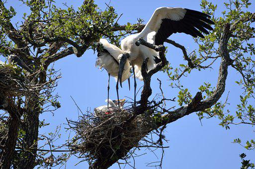 Wood Stork, Nesting, Stork, Bird, Nature, Nest, White