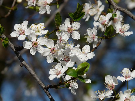 Wild Plum, Blossom, Bloom, Tree, Branch
