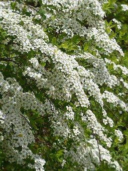 Bride Spiere, Ornamental Shrub, Flowers, White