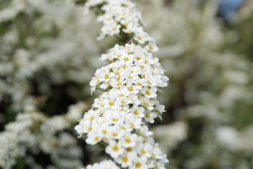 Bride Spiere, Flowers, White, Bush, Ornamental Shrub