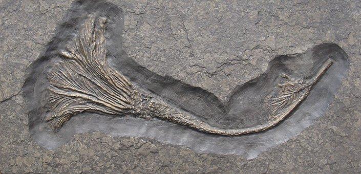 Crinoid, Crinoids, Fossils, Limestone, Extinct