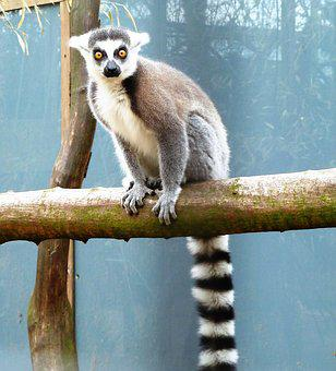 Animal, Monkey, Ring-tailed Lemur, Eyes, Coat