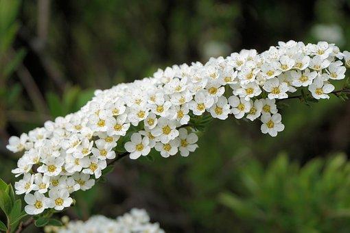 Bride Spiere, Flowers, White, Bush, Ornamental Shrub