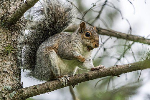 Squirrel, Nut, Eating, Claws, Animal, Nature, Fluffy