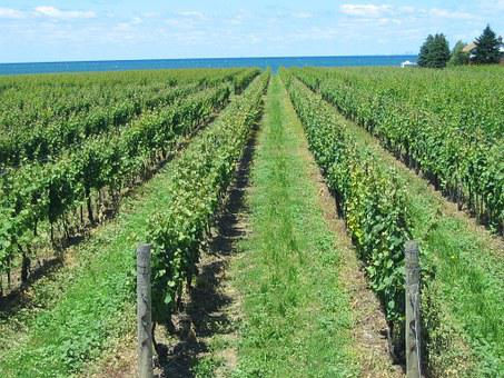 Vineyard, Grape, Vines, Rows, Grapevine, Summer