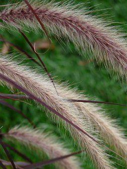 Lamp Cleaning Er Grass, Grass, Pennisetum Alopecuroides