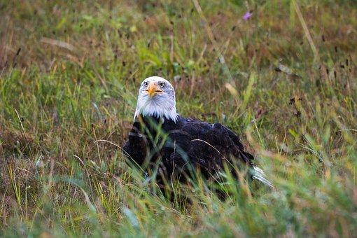 Bald Eagle, Haliaeetus Leucocephalus, Adler, Raptor