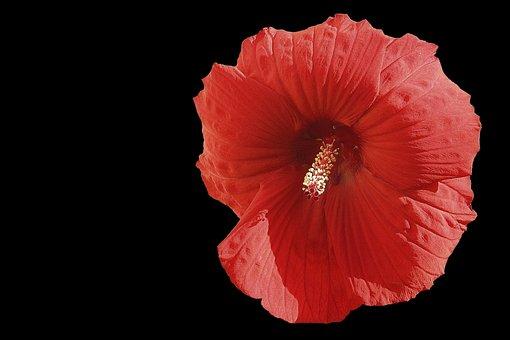 Hibiscus Flower, Giant Hibiscus, Red, Hibiscus