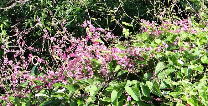 Coral Vine, Honolulu Creeper, Flower, Pink