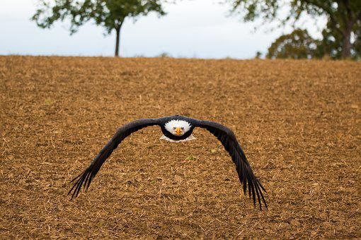 Bald Eagle, Fly, In Flight, Approach