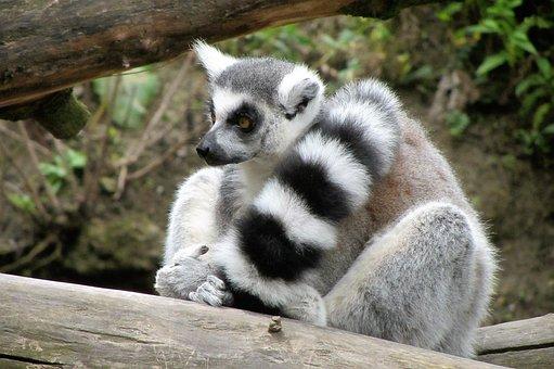 Zoo, Ring-tailed Lemur, Monkey, Long Tail, Black White