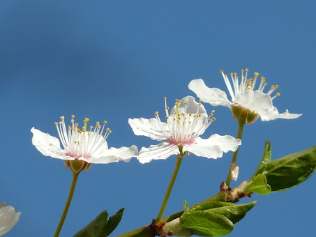 Wild Plum, Blossom, Bloom, Close, Macro